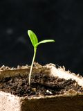 Tomato plant. In peat cup Stock Image