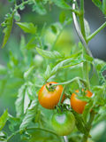 Tomato plant. With red and green tomatoes Royalty Free Stock Photography