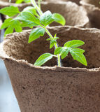 Tomato plant. A tomato plant which is a month old stock photo