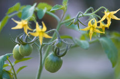 Tomato plant. A close-up of a cherry tomato plant beginning to bear fruit Stock Photo