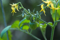 Tomato plant. A close-up of a cherry tomato plant beginning to bear fruit Stock Image