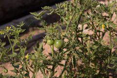 Tomato plant. Beginning to bear fruit Royalty Free Stock Image