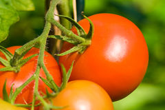 Tomato plant. In a garden Royalty Free Stock Photography