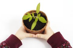 Tomato plant. Young child holding a potted tomato plant Stock Photos