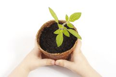 Tomato plant. Young child holding a potted tomato plant Royalty Free Stock Image