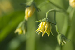 Tomato plant blossoming Stock Images