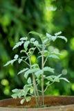 Tomato plant. Closeup of fresh tomato plant Stock Photos