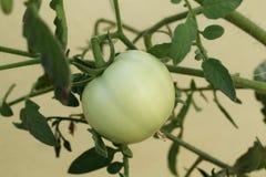 Tomato plant. Closeup of fresh tomato plant Royalty Free Stock Photo