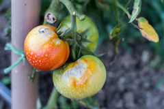 Tomato plant disease. In the greenhouse Royalty Free Stock Image