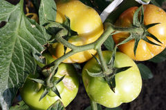 Tomato Plant Disease Royalty Free Stock Images