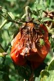 Tomato plant disease Royalty Free Stock Photo