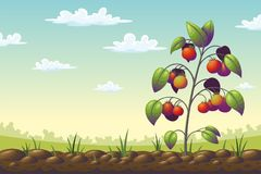 Tomato Plant On A Field. In summer, vector illustration Stock Image