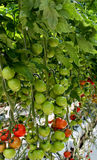 Tomato plant filled with ripening fruit Royalty Free Stock Photography