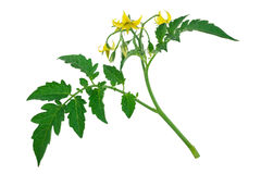 Tomato plant flower and leaf sprig Royalty Free Stock Photo