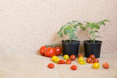 Tomato: before and after: plant and a friut. Tomato fruit: before and after: plant and a friut royalty free stock images