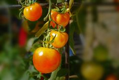 Tomato plant in the garden Royalty Free Stock Image