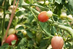 Tomato plant in garden of agricultural plantation farm royalty free stock photography