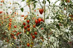 Tomato plant in garden of agricultural plantation farm royalty free stock photos