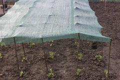 Tomato plant in garden under sunblocker fabric Stock Photography