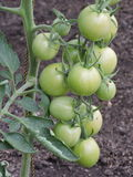 Tomato plant Royalty Free Stock Images