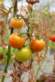 Tomato plant with green and orange fruits on branch Stock Photo