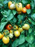 Tomato Plant Garden And Food Agriculture royalty free stock photography