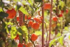 Tomato plant Stock Photos