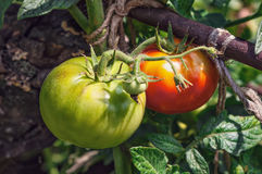 Tomato plant growing in garden Royalty Free Stock Image