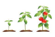 Tomato plant growth cycle. Stages of growth of a small tomato plant to a fully grown plant bearing red ripe tomatoes Stock Images