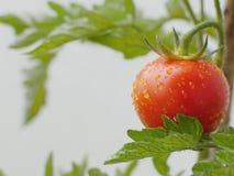 Tomato plant Royalty Free Stock Image