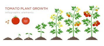 Tomato plant growth stages infographic elements in flat design. Planting process of tomato from seeds sprout to ripe. Vegetable, plant life cycle isolated on vector illustration