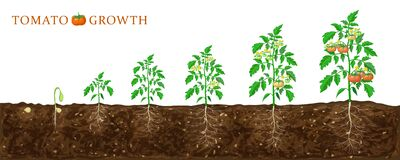 Tomato plant growth stages from seed to flowering and ripening. illustration of tomato feld and life cycle of healthy tomatoes