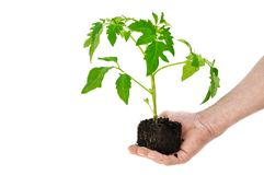Tomato plant in a hand Stock Photo