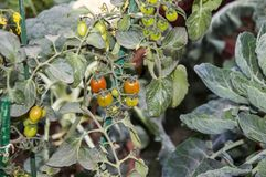Tomato plant. In home garden stock photo