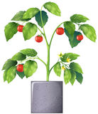 A tomato plant Royalty Free Stock Photography