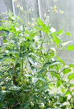 Tomato plant with immature fruit Royalty Free Stock Photos