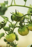 Tomato plant inside a green house Royalty Free Stock Images
