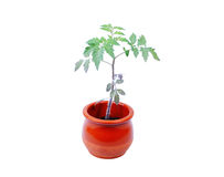 Tomato plant stock images