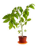 Tomato plant isolated over white Stock Images