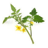 Tomato Plant Leaf Sprig. Tomato plant flower and leaf sprig over white background Stock Photography