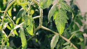 Tomato plant leaves moving after watering. Movement of the tomato leaves after watering the soil stock footage