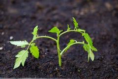 Free Tomato Plant Macro Stock Image - 39791861