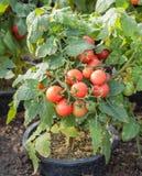Tomato plant. In organic farm Stock Photography