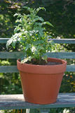 Tomato Plant in a Pot Stock Photos