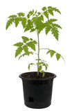 Tomato plant in pot Stock Photo
