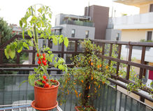 Tomato plant in the pot on the terrace of a house Royalty Free Stock Photo