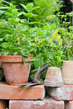 Tomato plant Royalty Free Stock Photos