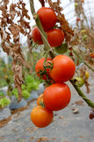 Tomato plant with red fruits on branch Royalty Free Stock Photography