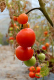 Tomato plant with red fruits on branch Stock Image
