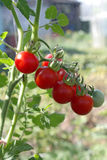 Tomato plant with red fruits cherry Royalty Free Stock Images